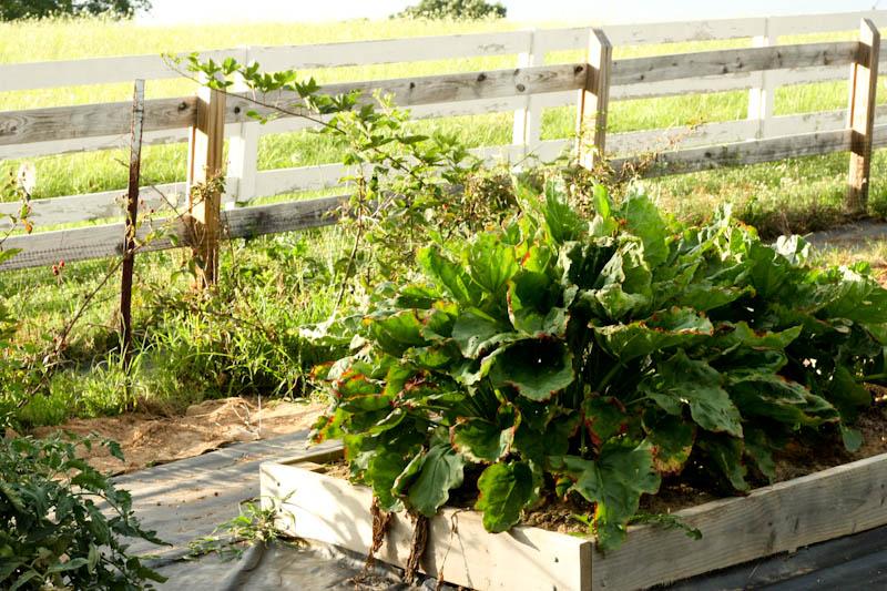 rhubarb and blackberries