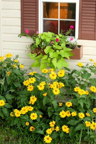 shed window box and oxeye sunflowers