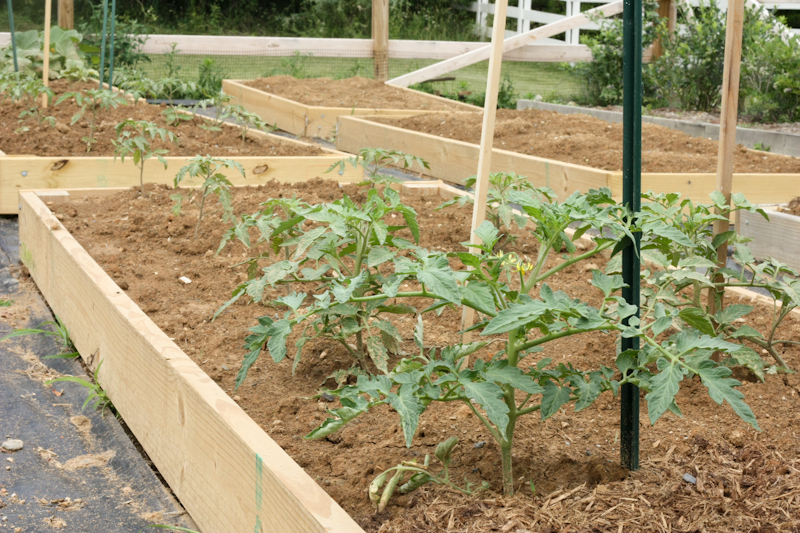 tomato beds