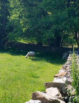 sheep at Irish farm