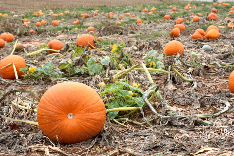 pumpkin field, Dayton, VA
