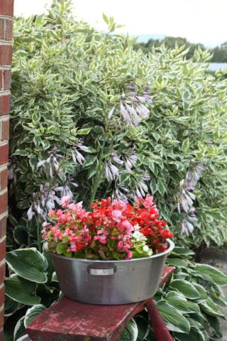 Begonia, hosta, and red twig dogwood