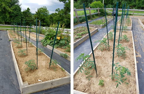 tomatos in raised beds
