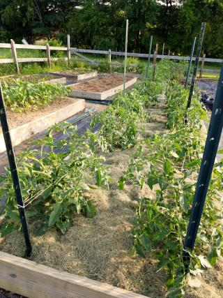 mulched tomatos