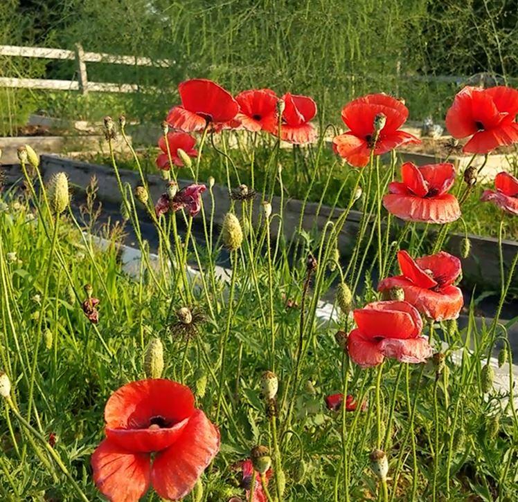 Garden poppys