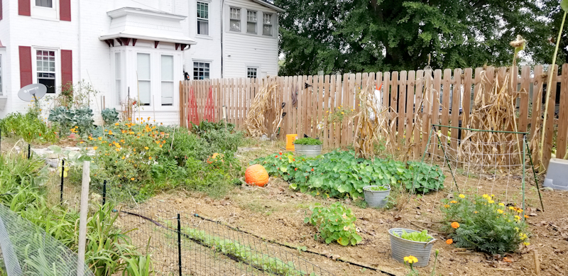Pumpkins in garden