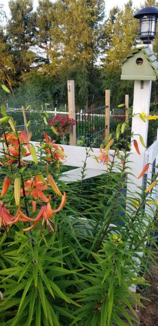 birdhouse and tiger lilies