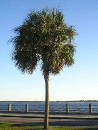 Palmetto_tree